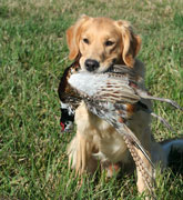 Pow holds a pheasant rooster, what a nice mouth!